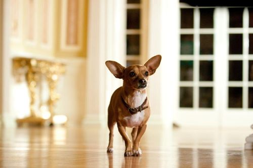 BEVERLY HILLS CHIHUAHUA 2 Papi